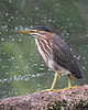 Green Heron: Ridgefield NWR, WA (10-08)