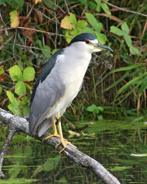 Black-crowned Night Heron: Ridgefield NWR, WA
