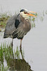 Great Blue Heron: Ridgefield NWR, WA (March, 2009)