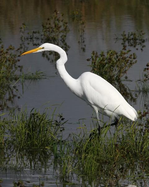 Great Egret: Ridgefield NWR, WA (November, 2009)