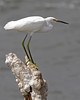 Snowy Egret: Salton Sea, CA (September, 2011)