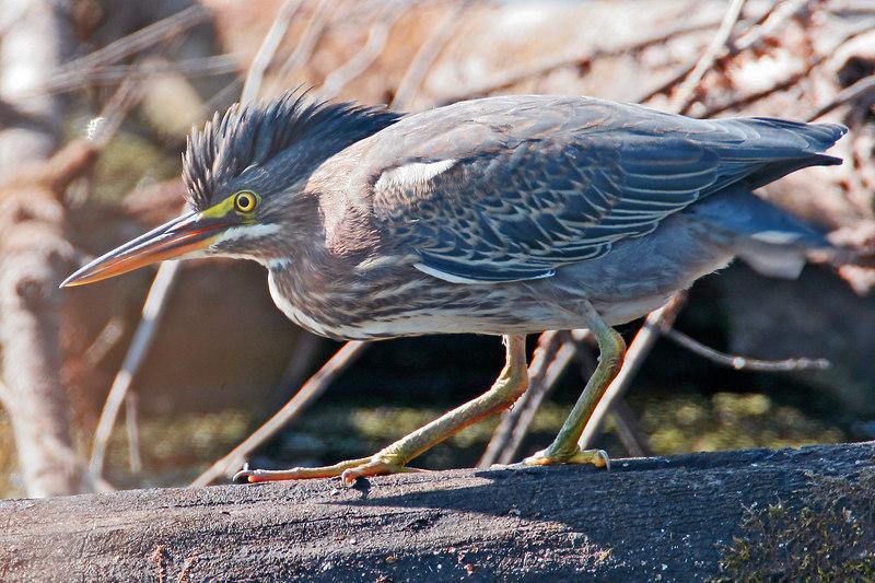 Green Heron.  Ridgefield NWR, WA