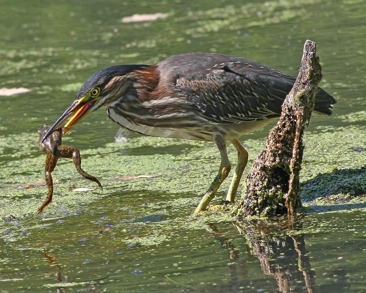 Green Heron: Ridgefield NWR, WA (9-08)