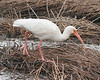 White Ibis: Louisiana (December, 2006)