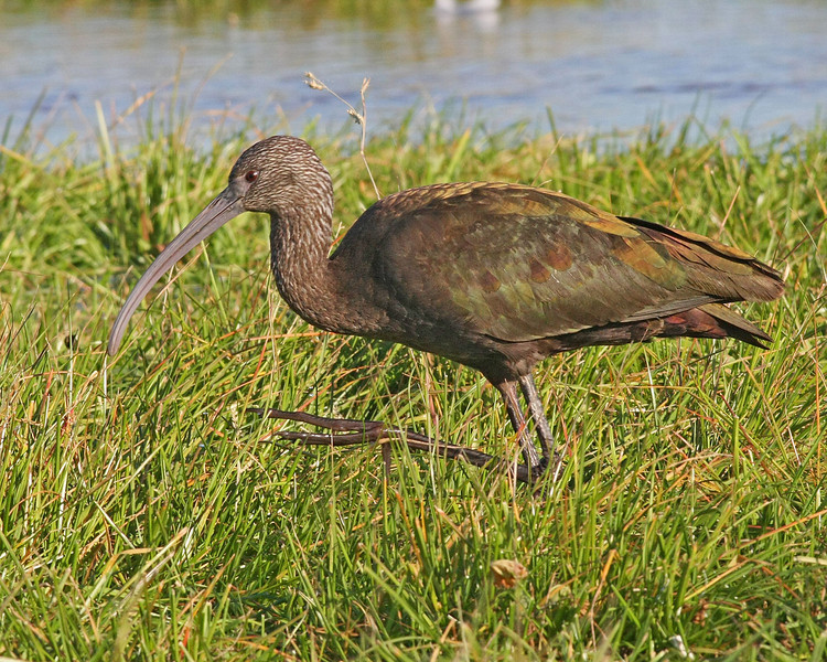 White-faced Ibis: Salton Sea, CA (December, 2009)