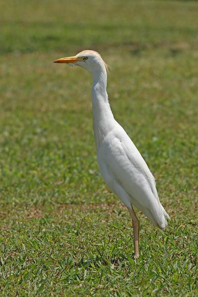 Cattle Egret:  Photo taken in Kauai, Hawaii