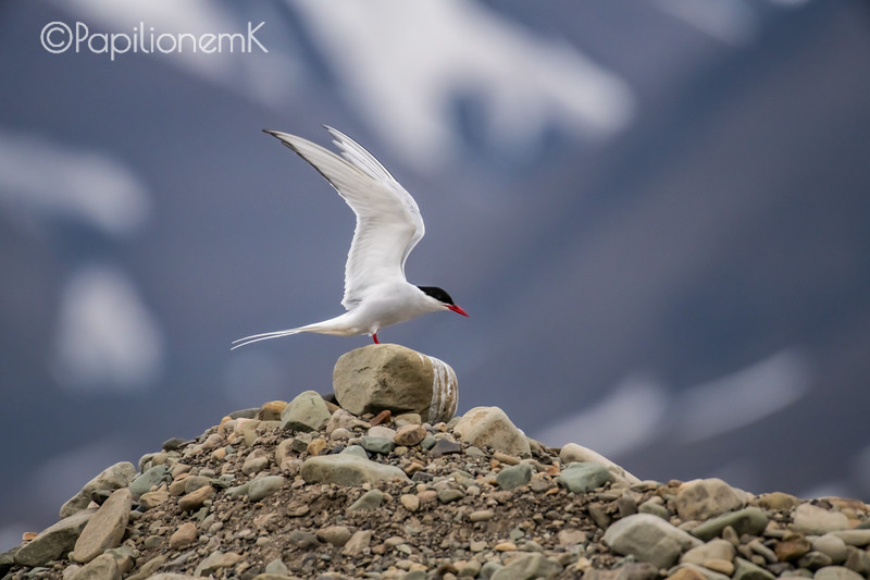 Arctic Tern [Sterna paradisaea], photographed in Longyearbyen, Norway