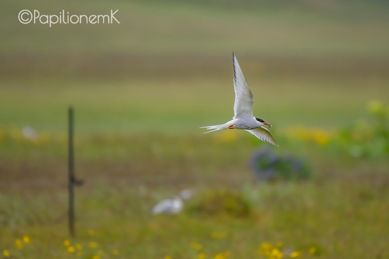 Arctic Tern [Sterna paradisaea], photographed in East fjords, Iceland