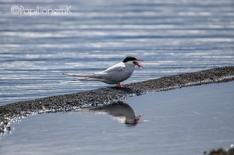 Arctic Tern [Sterna paradisaea], photographed in Lake Myvatn, Iceland