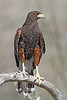 Harris' Hawk:: Mountain Park near Tucson, AZ (January, 2012)