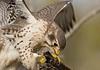 Prairie Falcon: Arizona-Sonora Desert near Tucson, AZ (1-10-15)