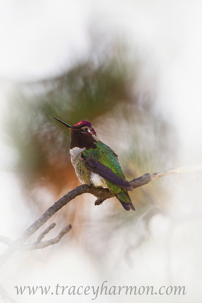 A male Anna's Hummingbird rests on a Pine limb.