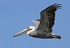 Brown Pelican flying over the Salton Sea in California (9-9-2014)