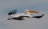American White Pelican photographed at the Salton Sea, CA.