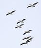 American White Pelican: Ridgefield NWR(10-23-14)