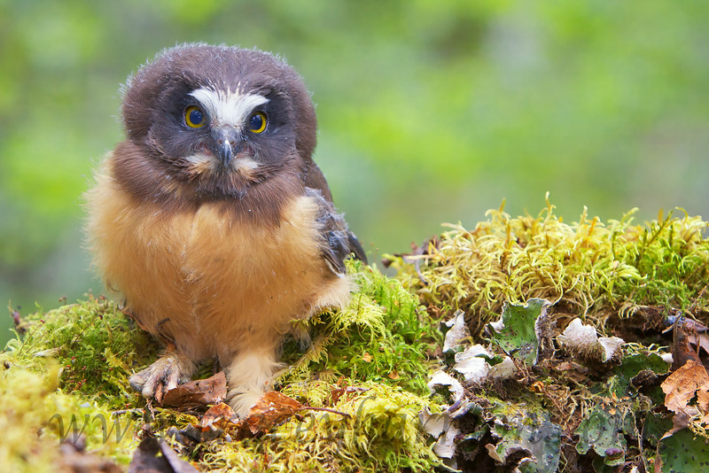 This young Saw-whet Owl may look like he's ready to take on the world but it is still dependent on the adult male Saw-whet for food.