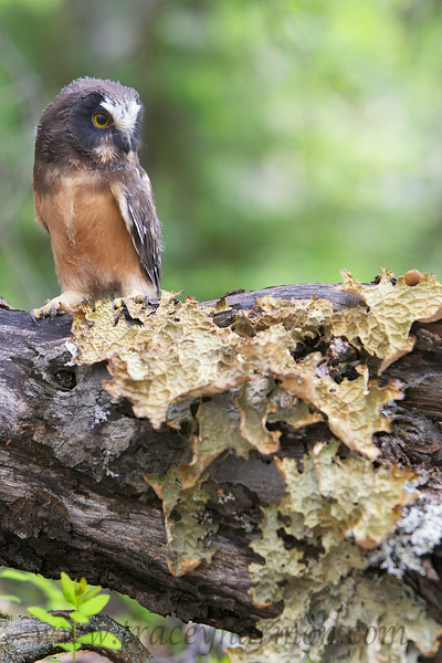 A newly fledged Saw-whet Owl rest on a Crust Lichen encrusted Pussywillow Tree.