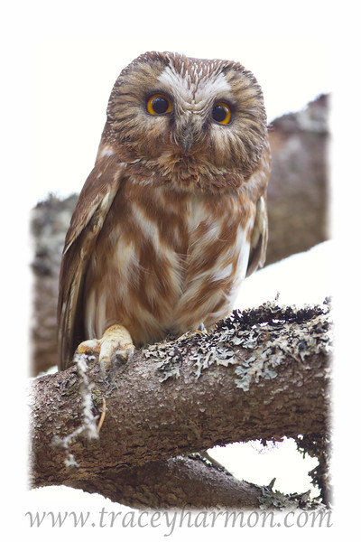 A female Northern Saw-whet Owl watches closely as we work around her nest box.
