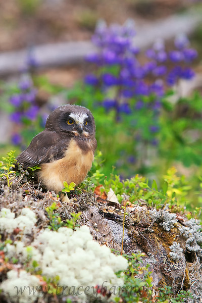 A young Saw-whet Owl, a lichen and moss encrusted boulder, and Lupines! What could be prettier!?
