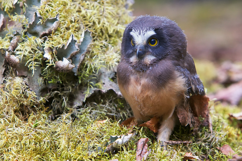 This young Saw-whet Owl is as calm, and as easy-going, as the adults. The fledgling, like his siblings, would put up with me getting quite close. Even better, they made it a point to ignore me!