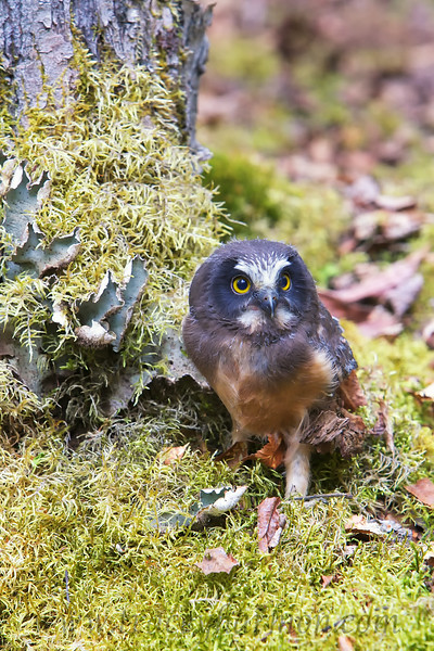 A young Saw-whet Owl, fresh from the nest, watches the goings-on in his new surroundings intently.