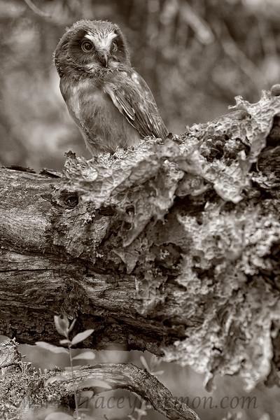 Though this owlet, and it's surroundings, are quite colorful, I cannot help myself; I must have a few photos in the gallery without color!