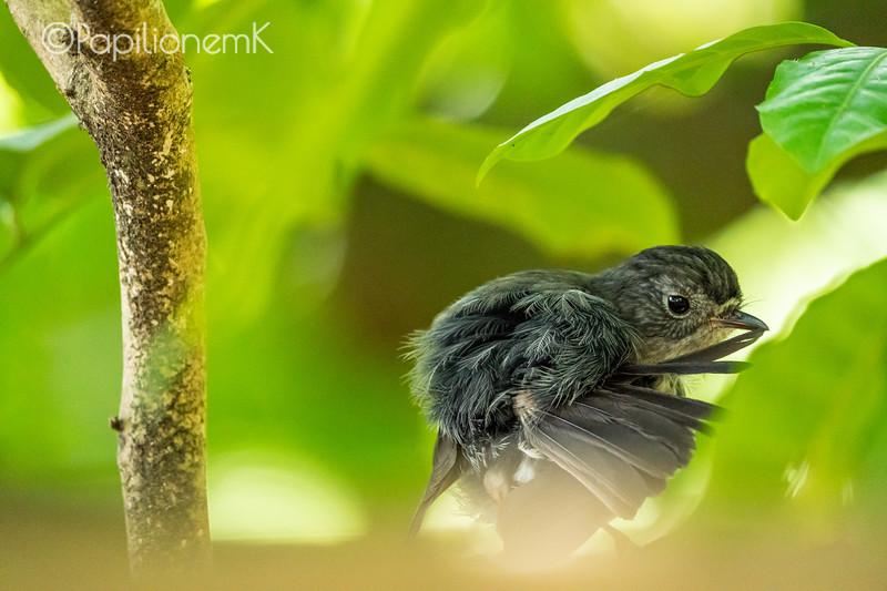North Island Robin, Petroica longipes