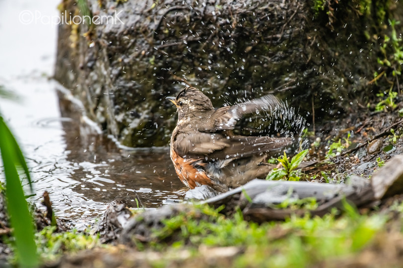 bathing Redwing, Turdus iliacus, bath