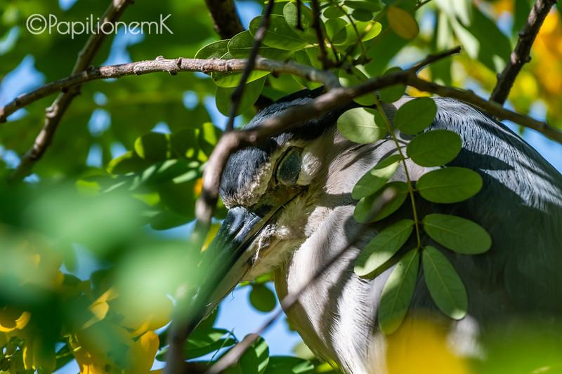 해오라기, 새, 감은 눈, black-crowned night heron, closed eyes, lower eyelid, 하안검, 아랫 눈꺼풀