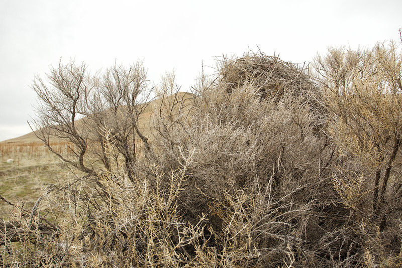 I photographed this Black-billed Magpie nest on Antelope Island in the Great Salt Lake.  It is one of the more massive nests I have ever seen! How massive? More than four foot in height!