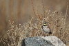A male Horned Lark sings in the Utah sun.