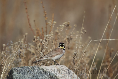 """I wonder why these birds are called """"Horned Larks""""?!"""