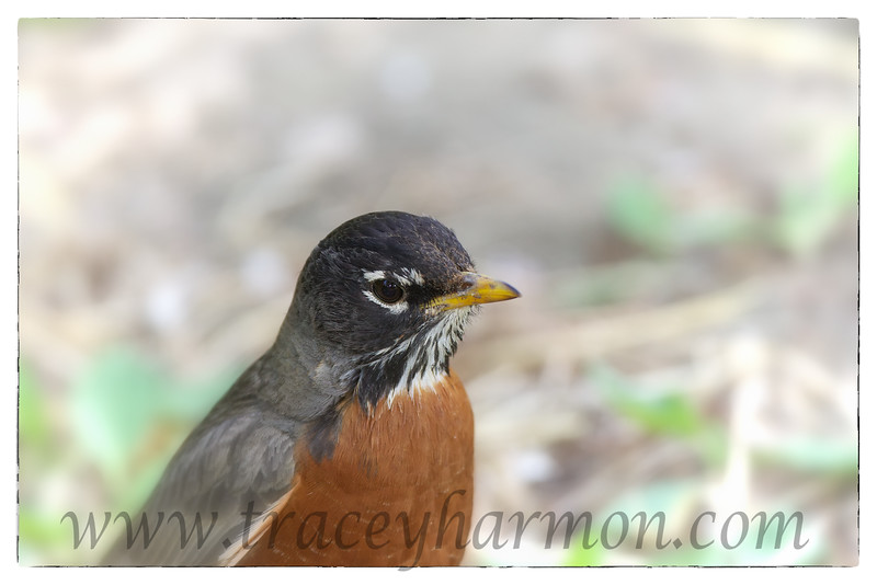 I photographed this American Robin with it's eye to the ground, searching for food for it's nestlings.