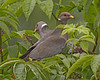 Band-tailed Pigeon: Ridgefield NWR, WA (June, 2011)