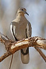 White-winged Dove: Patagonia, AZ (Januaray, 2011)