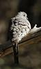 Inca Dove: Desert Museum near Tucson, AZ (January, 2013)