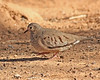 Common Ground Dove:  Salton Sea NWR, CA  (December, 2007)