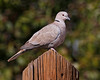 Eurasian Collared Dove: Santa Cruz Flats, AZ (January, 2011)
