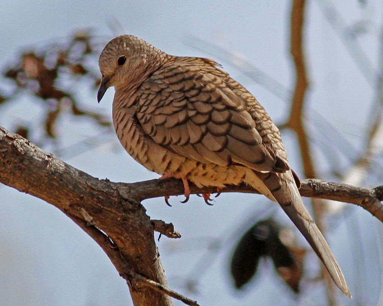 Inca Dove: Patagonia, AZ (January, 2011)