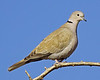 Eurasian Collared Dove: Santa Cruz Flats, AZ (January, 2013)