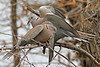 Eurasian Collared Doves: Sweetwater Wetlands, Tucson, AZ (February, 2011)