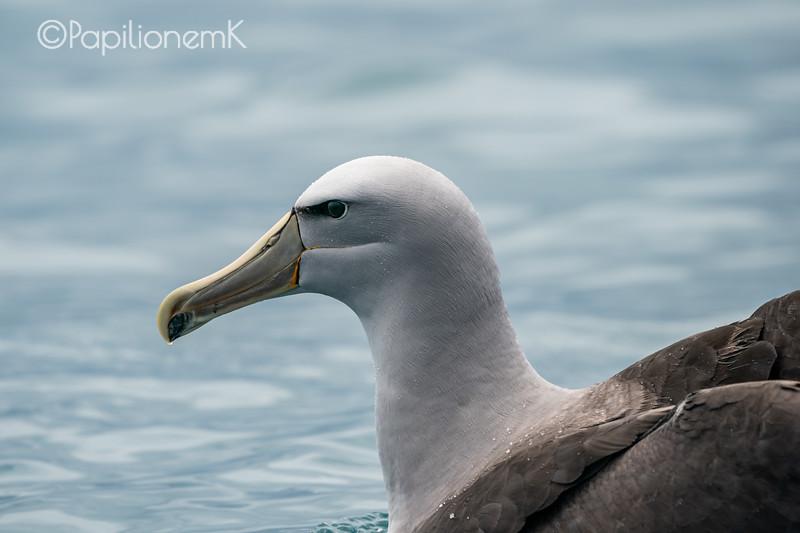 salvin's albatross, Procellariiformes