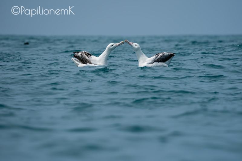 Procellariiformes, southern royal albatross
