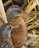 Virginia Rails: Ridgefield National Wildlife Refuge (3-26-09)
