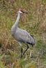 Sandhill Crane taken at Ridgefield NWR, WA