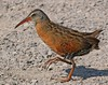 The illusive Virginia Rail: Taken at Ridgefield NWR, WA (July 2008)