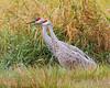 Sandhill Cranes, taken at Ridgefield NWR