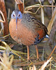 Virginia Rail:  Ridgefiled, NWR, WA (January, 2008)