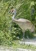 Sandhill Crane: Reifel Sanctuary in Delta, B.C., Canada (6-5-15)