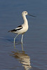 American Avocet. Taken at Salton Sea NWR, CA